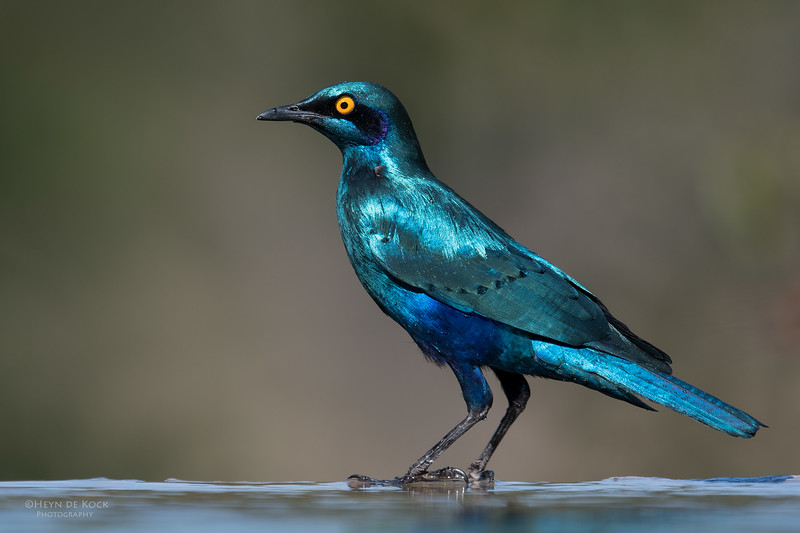 Greater Blue-eared Starling, Sabi Sands (EP), SA, Oct 2016-15.jpg