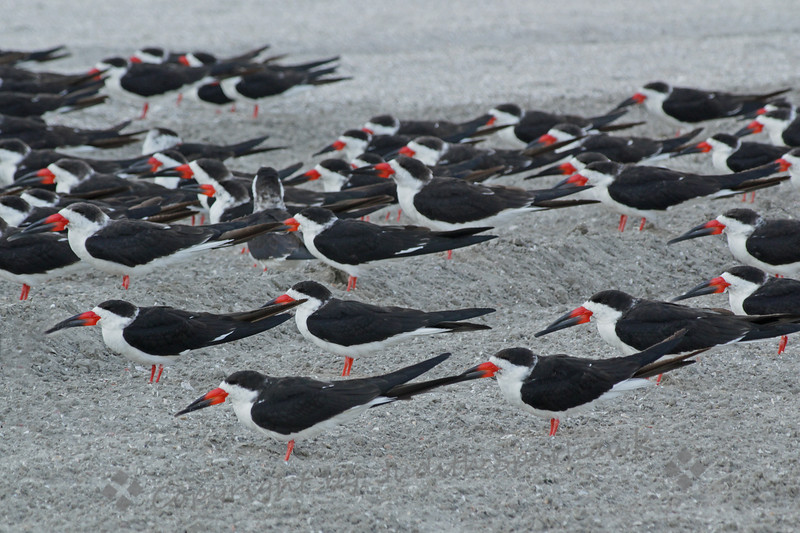 Resting Black Skimmers ~ This flock of Black Skimmers was on the beach at Crown Point in San Diego.  This photograph shows only a small number of the entire flock.  I've never been able to get this close to skimmers before.  I liked the pattern they made with their repetitive positioning and their little black tuxedos.