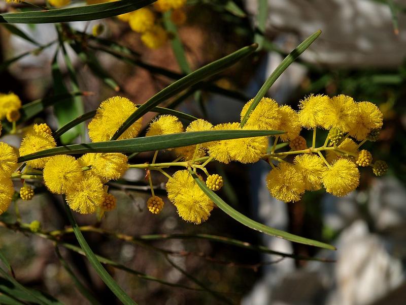 DN-Mimosa Inciragaci 27-3-08 (4).jpg