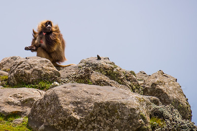 gelada on rocks