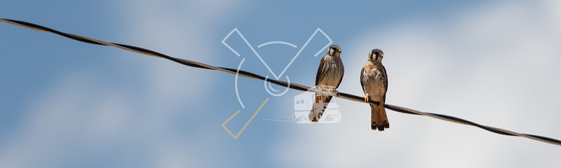 Juvenile American Kestrels on a powerline in the Eduardo Avaroa Andean Fauna National Reserve.