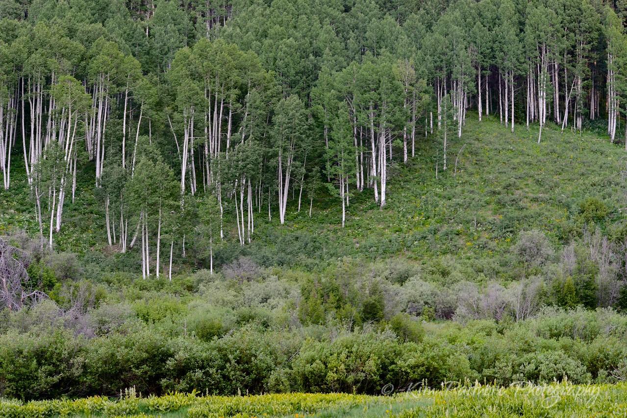 Aspen Sticks