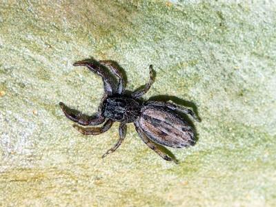 genus Holoplatys