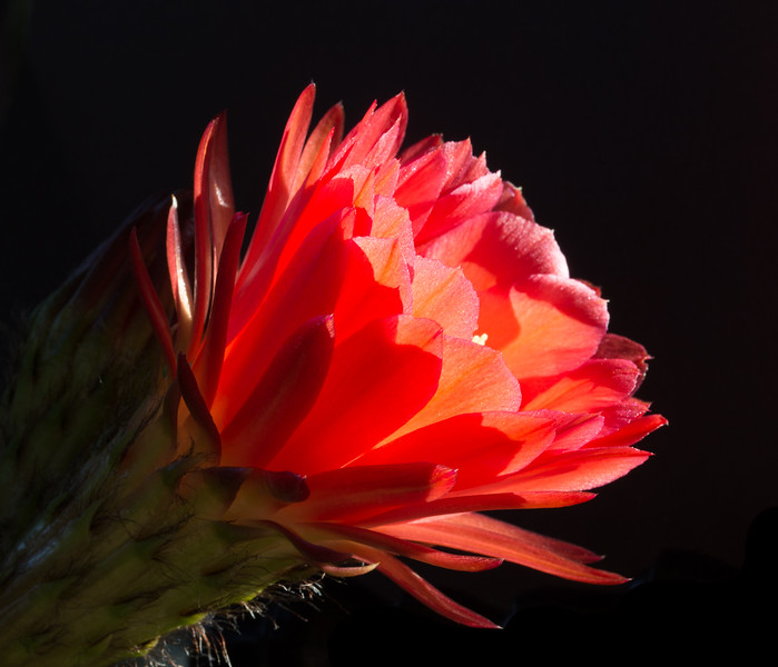 Torch Flower 4-7-2017c.jpg