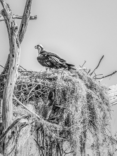 Osprey.   Dora Canal Connections Lake Dora with Lake Eustis, FL
