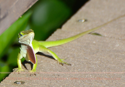 Green Anole with a Friendly Grin