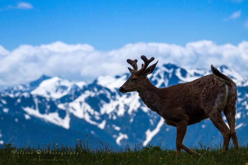 Deer-59 PS.jpg