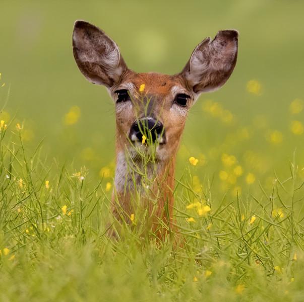 PM Hiding Deer_B6A0323-1.jpg