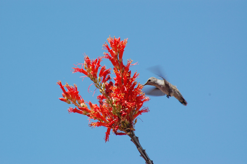 I caught this hummingbird during the time that the ocotillo was in bloom in our back yard in Scottsdale in late April, 2013. I set my shutter speed at 1/1000 and got some nice shots of him both feeding and perched.