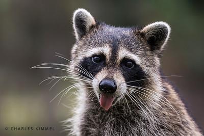 Raccoons: 2019