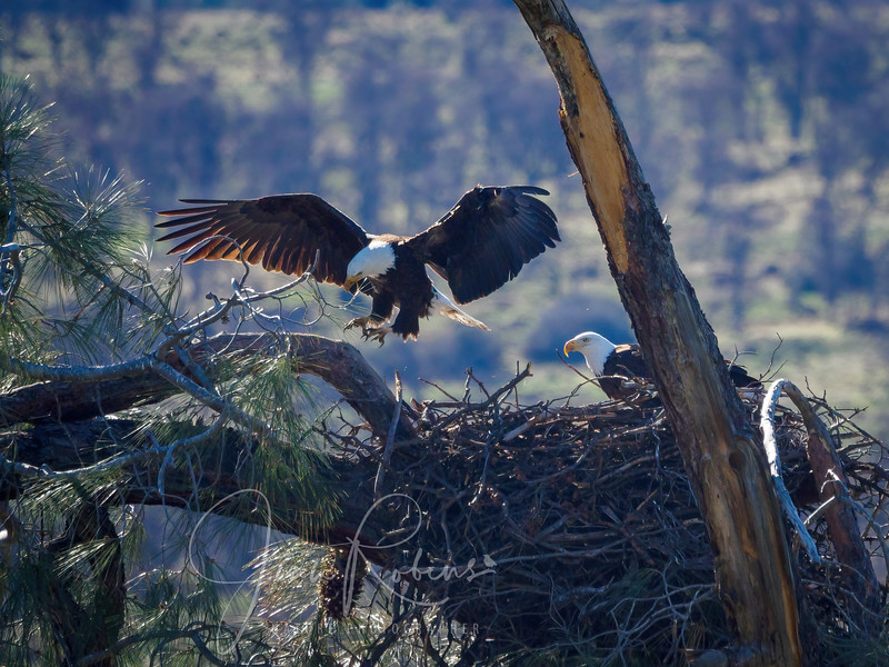 210221-Lassen Eagles Feb-2216854-Edit.jpg
