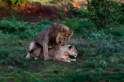 Simba Sex