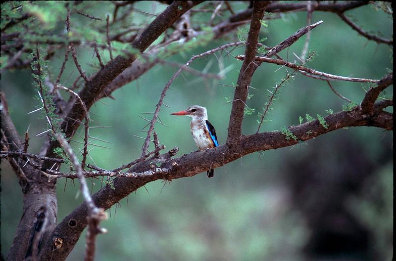 Gray headed kingfisher