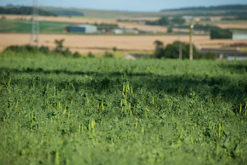 A field of Peas