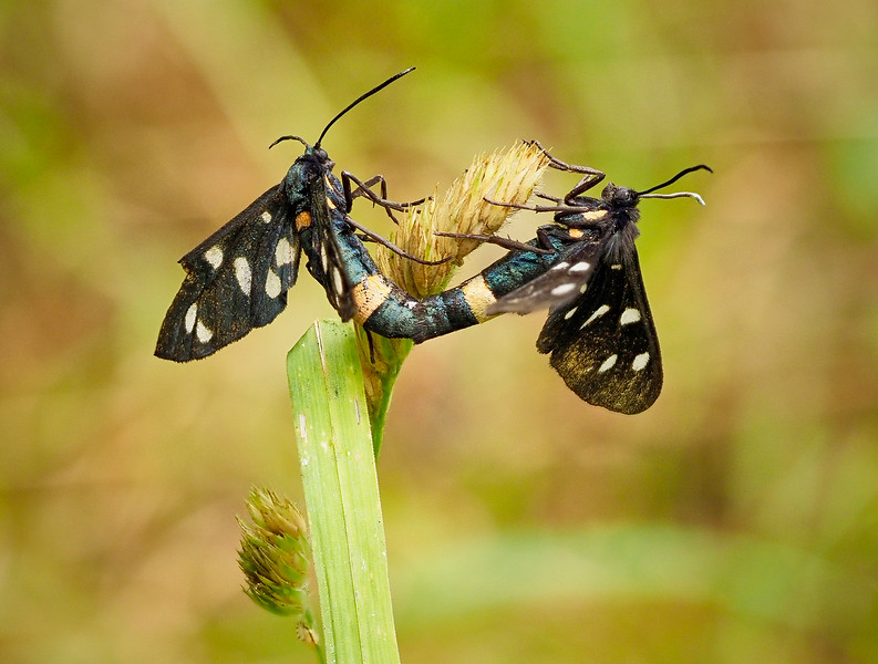 Burnet moths coupling