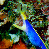 blue ribbon eel
