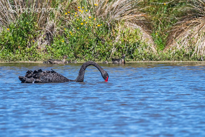 Black Swan [Cygnus atratus]