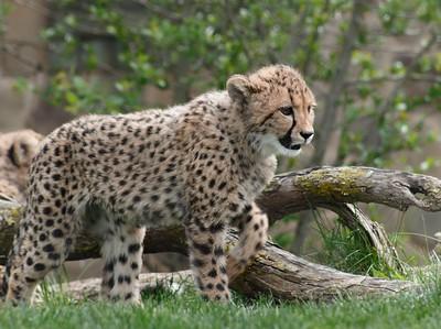 Spotted Cheetah Cub (Acinonyx jubatus)