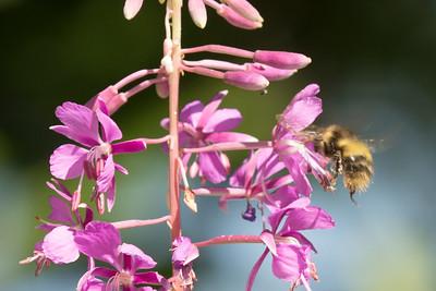 Sitka Bumble Bee sitkensis