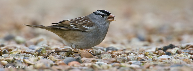 White-crowned Sparrow (Zonotrichia leucophrys). Cley-next-the-sea (Norfolk, England), January 2008