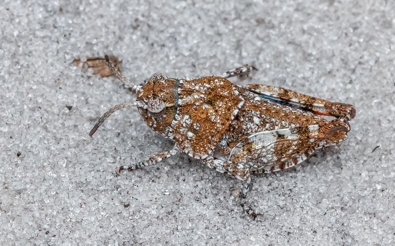 Orange-winged grasshopper nymph