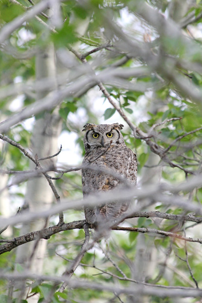 A stern Great Horned Owl