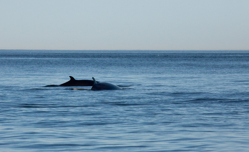 2011 quebec whale watching (15 of 80).jpg