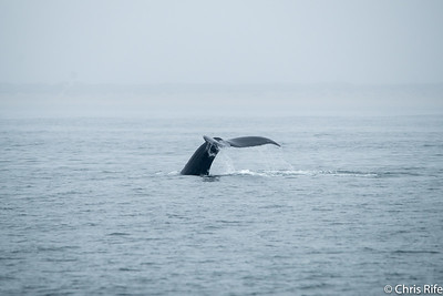 Whale Watching, August 2017