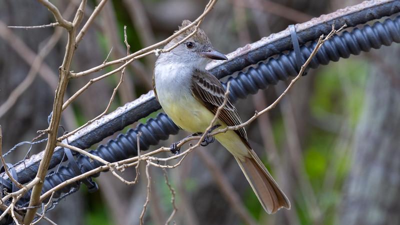 Brown-crested Flycatcher @ Laguna Vista Nature Trail