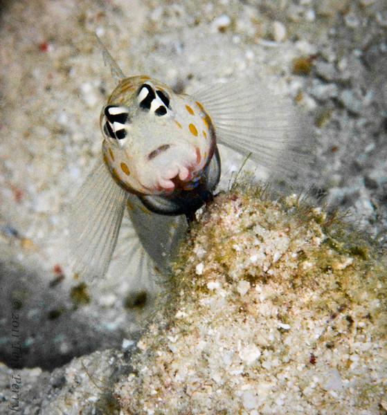 fish blennie_DSC3457.jpg