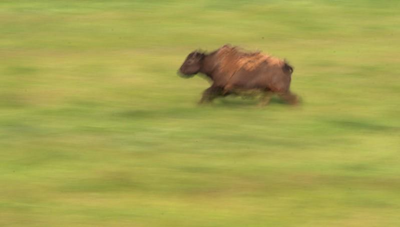 Bison calf run blur Blue Mounds State Park Luverne MN _MG_5162.jpg