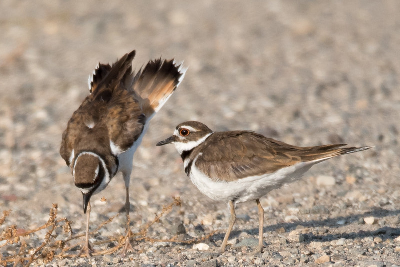 Killdeer on the berm next between ponds C and D.