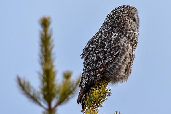 3-14-16 Great Gray Owl - Pt. I
