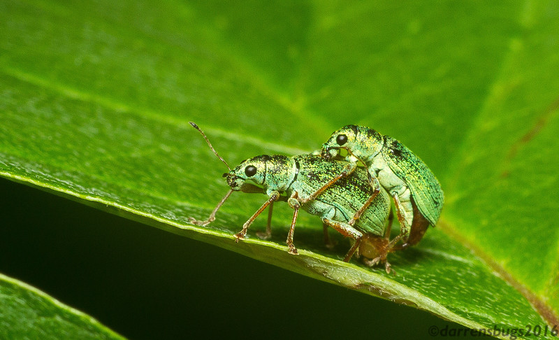 A mating pair of broad-nosed weevils, Polydrosus sp., from Roseville, Minnesota.