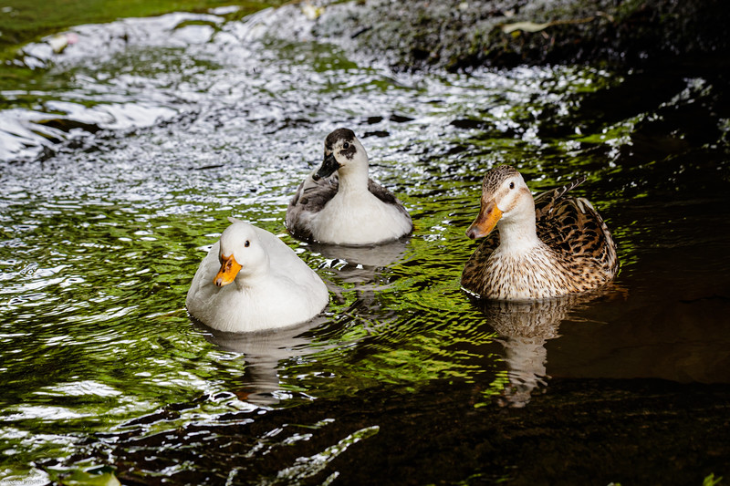 Who Said the Duck Race Was Cancelled