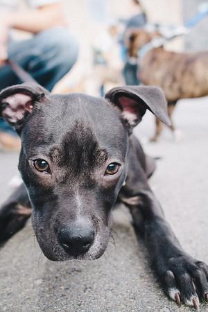 SPCA Puppy Walk