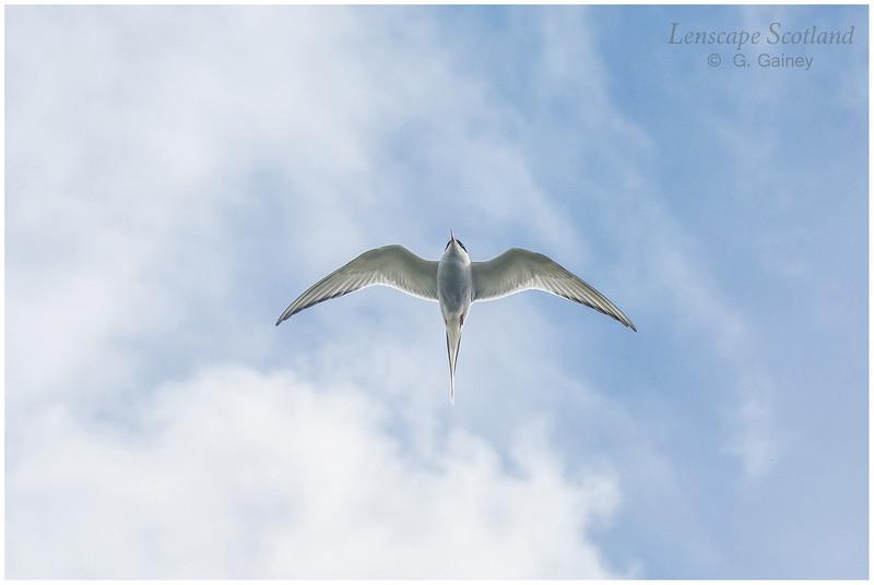 Arctic tern, Snarra Voe (Unst)