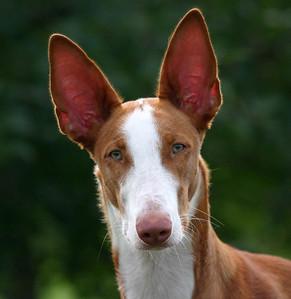 Ibizan Hound Head, Ears, and neck