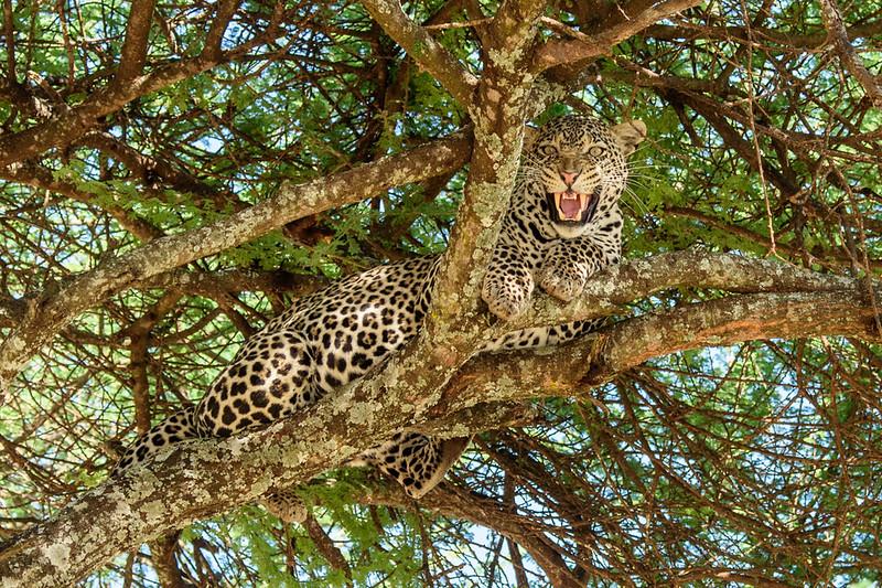 Leopard in an Acacia