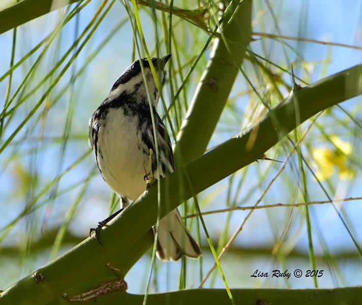 Black-throated Gray Warbler  - 4/5/2015 -  Agua Caliente campground