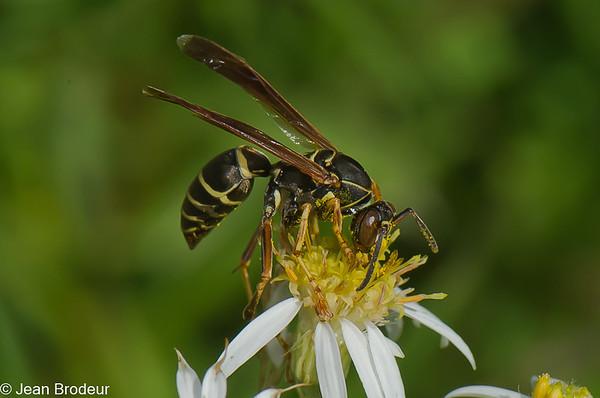 Hymenopteres du Quebec, Vespidae, Crabronidae et Sphecidae