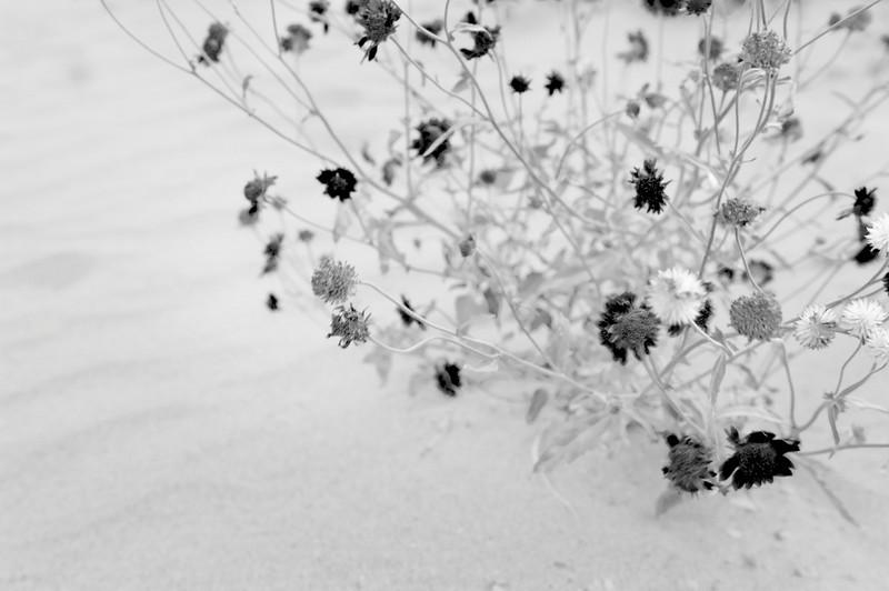 "Shades of Grey  ""Wildflowers""   Boquillas Canyon Big Bend National Park, Texas  Nov 2009"