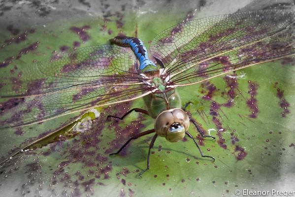 Dragonflies & Lanai