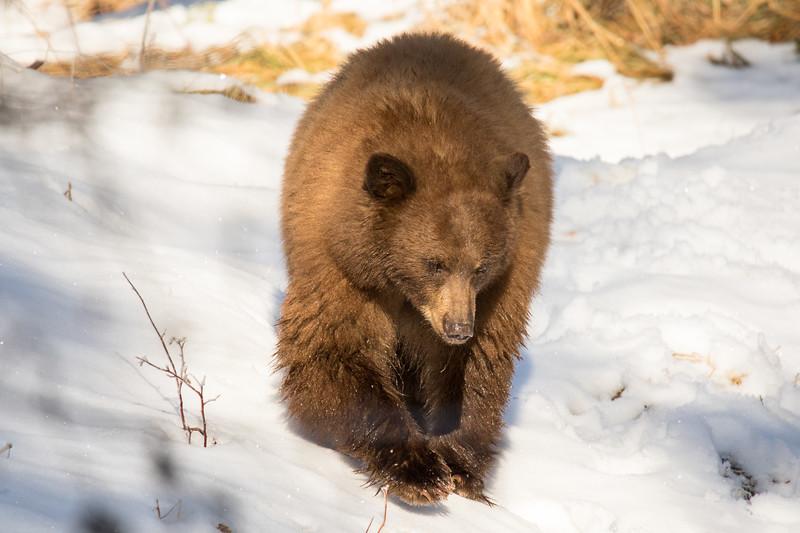 Tahoe Bear Fall 2020-16.jpg