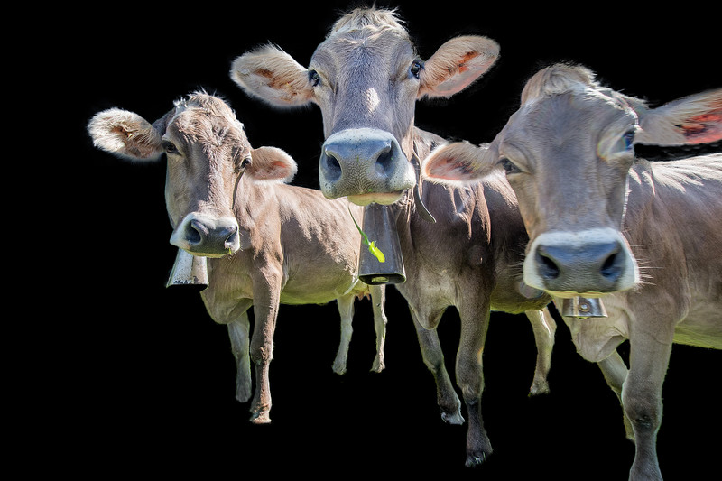 Three cows looking curiously at camera