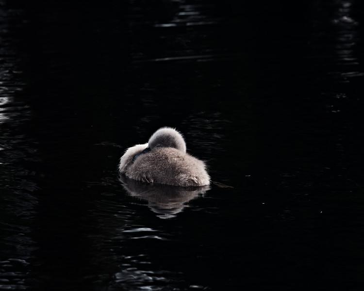 Swans_Of_Castletown035.jpg