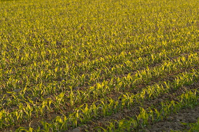 Young cornfield in Germany. © 2005 Kenneth R. Sheide