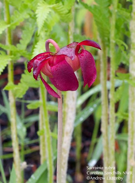 sarracinia rubra flower.jpg
