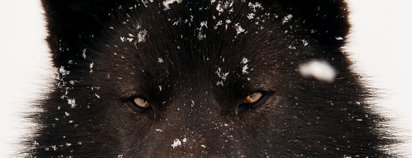 Sled Dogs of the Inuit people Nunavit region of Quebec Canada