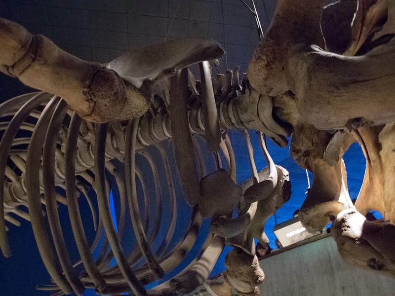 Flying Whale Skeleton